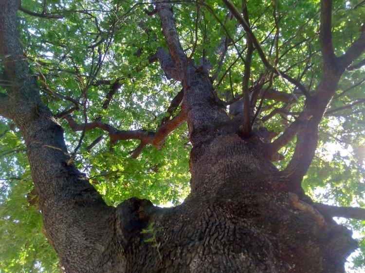 400 Yıllık Meşe Ağaçları Görenleri Şaşırtıyor