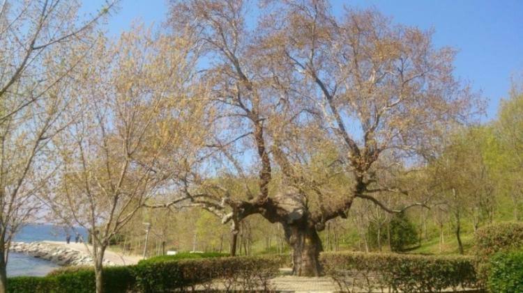 Anıt Ağaçların Envanteri Çıkartılacak