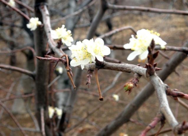 Bahar Erken Geldi, Ağaçlar Çiçek Açtı