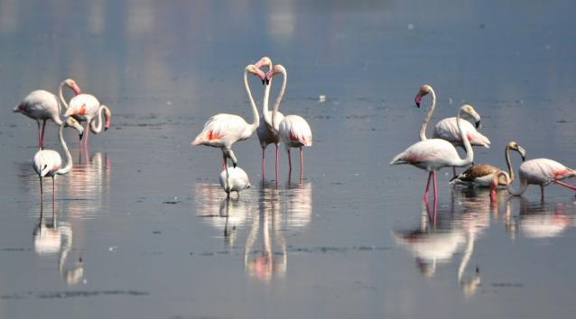 Flamingolar Kışı Geçirmek İçin Geldi