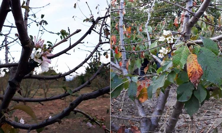 Kiraz Ağacı Ekim Ayında Çiçek Açtı