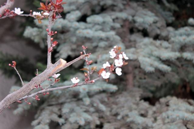 Meyve Ağaçları Kış Ortasında Çiçek Açtı