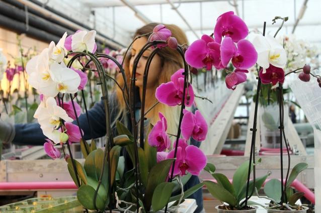Sevgililer Gününde Yerli Orkideye Büyük Talep