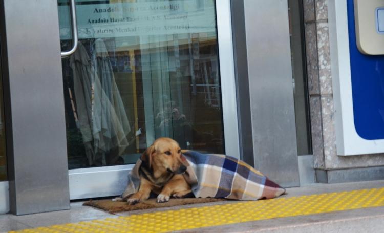 Soğuktan Üşüyen Köpek Şalla Örtüldü