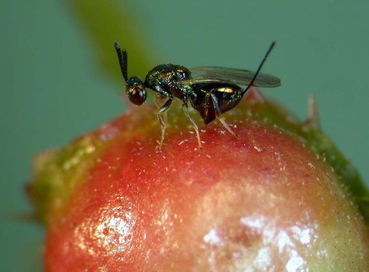 Terminatör Böcekler Doğaya Bırakıldı