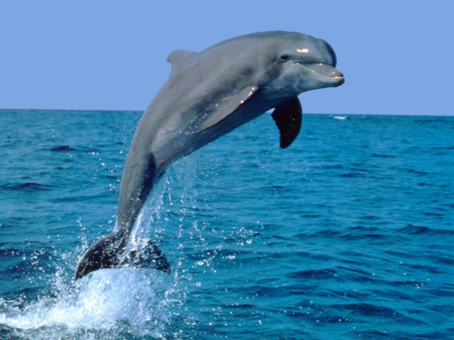 Yunuslar Balıkçıların Kabusu Oldu